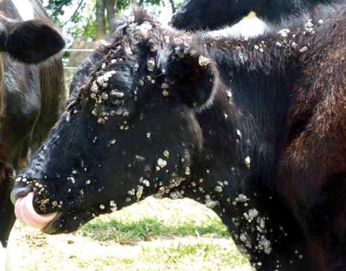 Papiloma virus bovino., Papilomavirus bovino tratamento