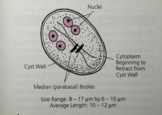 Giardioza – simptome, cauze diagnostic, tratament