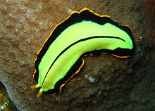 specii de platyhelminthes trematoda
