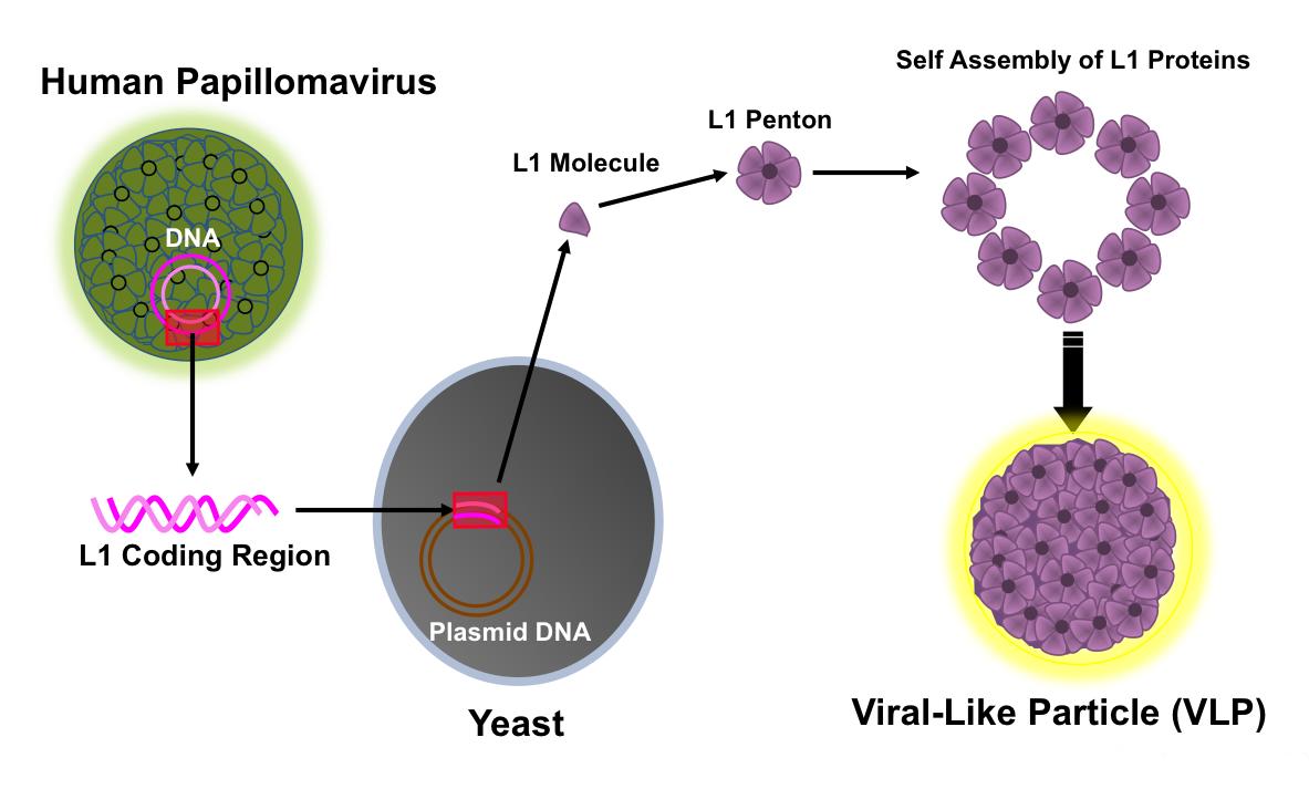 Papillomavirus genome structure