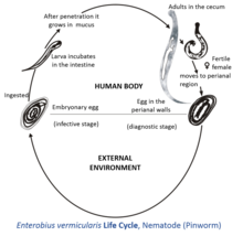sistemul nervos pinworm