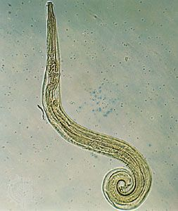 enterobius vermicularis adults)