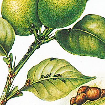 eliminare parassiti limone)