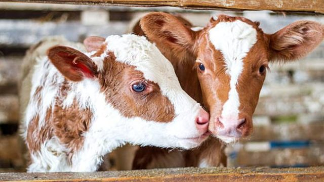 viermi în tratamentul simptomelor bovinelor