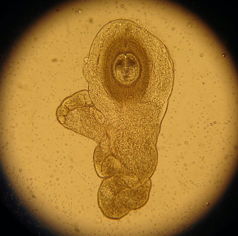 helminth worm therapy