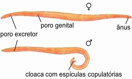 filo nemathelminthes resumo parazita giardia simptome om