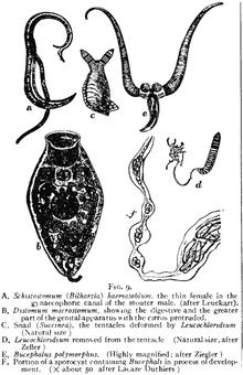 Anatomie platyhelminthes