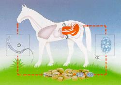 Oxiuros que no comer, Oxiuros tratamiento ajo, Ioana Bobocea (ibobocea) on Pinterest