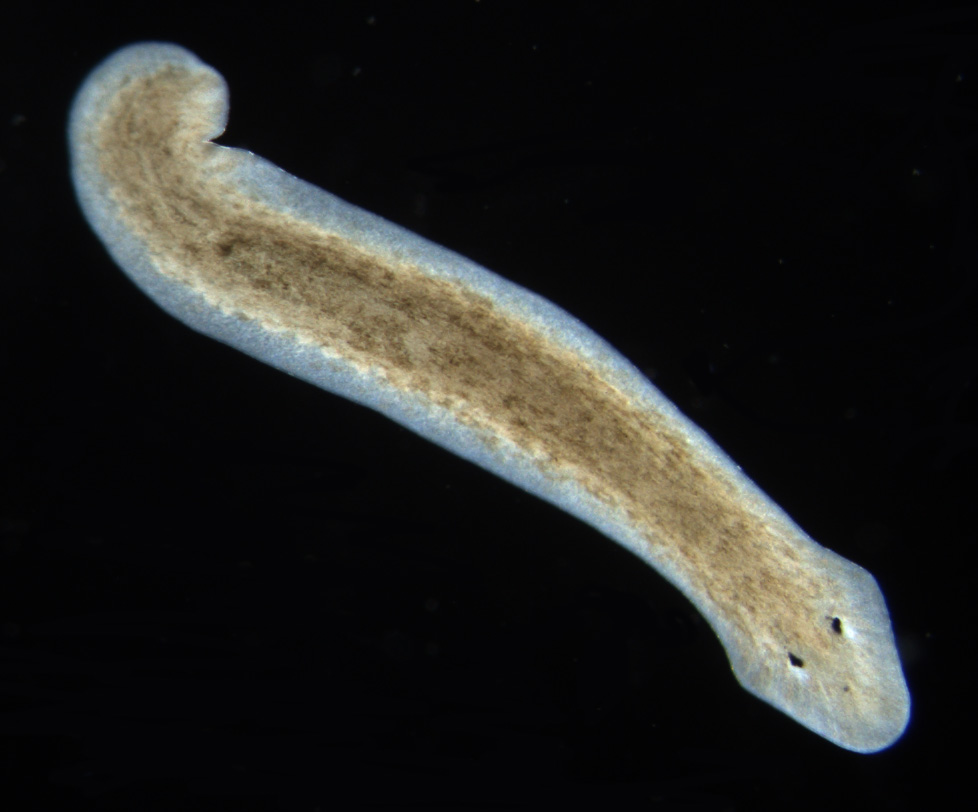 Phylum platyhelminthes taenia - Definition le papillomavirus humain