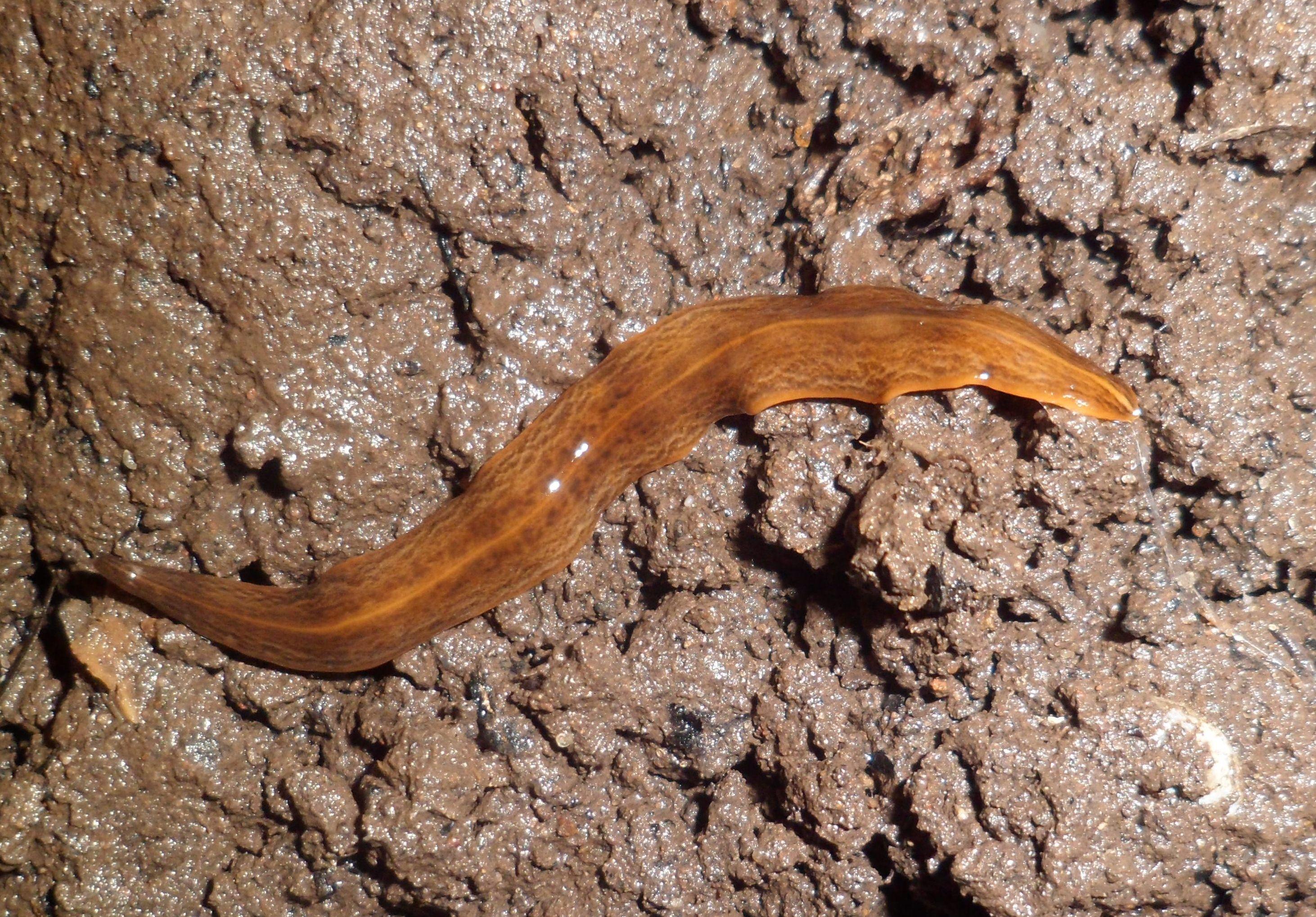 Tot despre speciile de viermi, Planul general al corpului pentru platyhelminthes