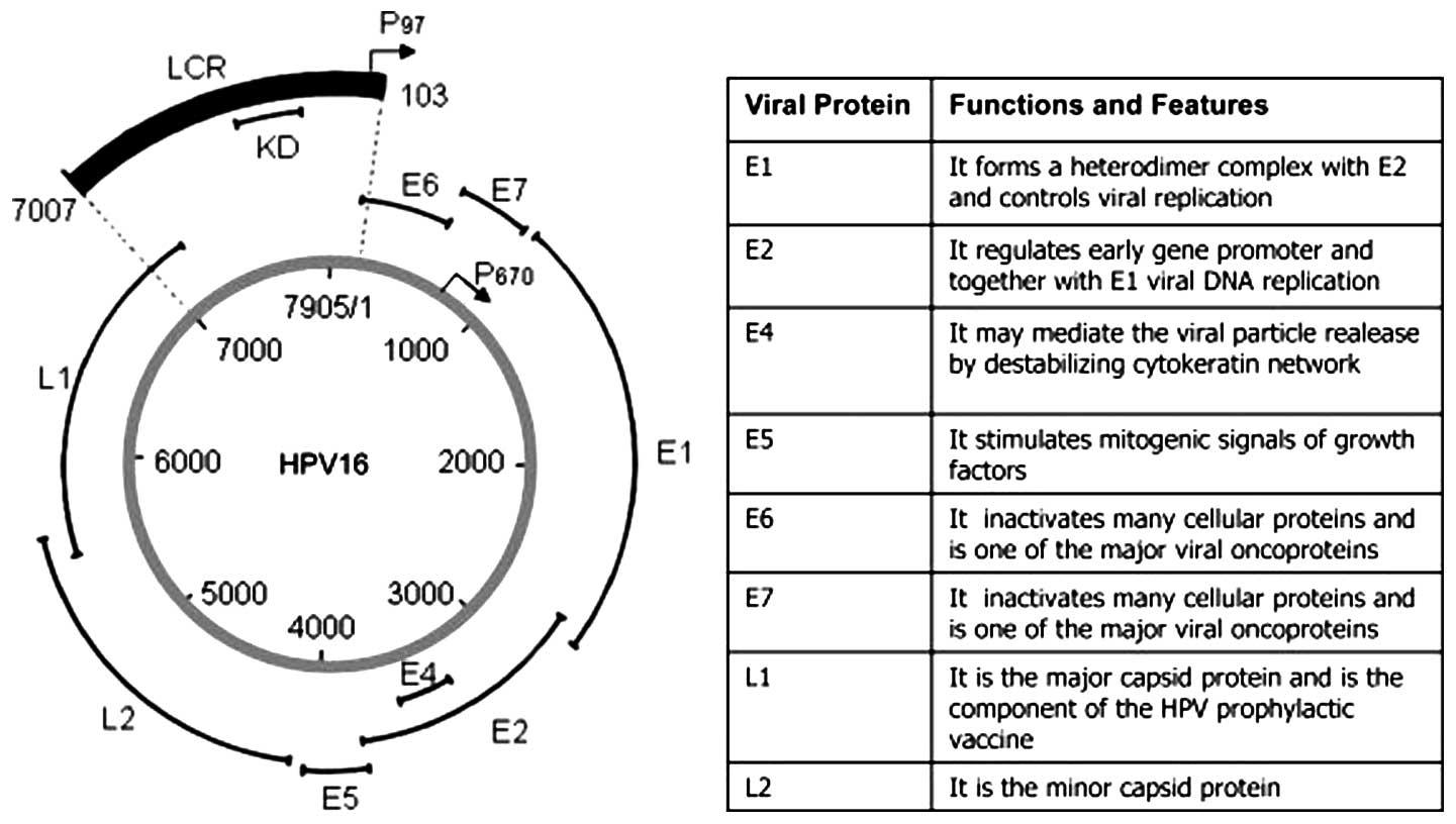 human papillomavirus function