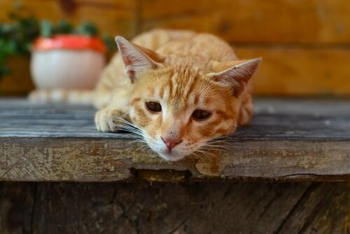 giardia gatos que es)