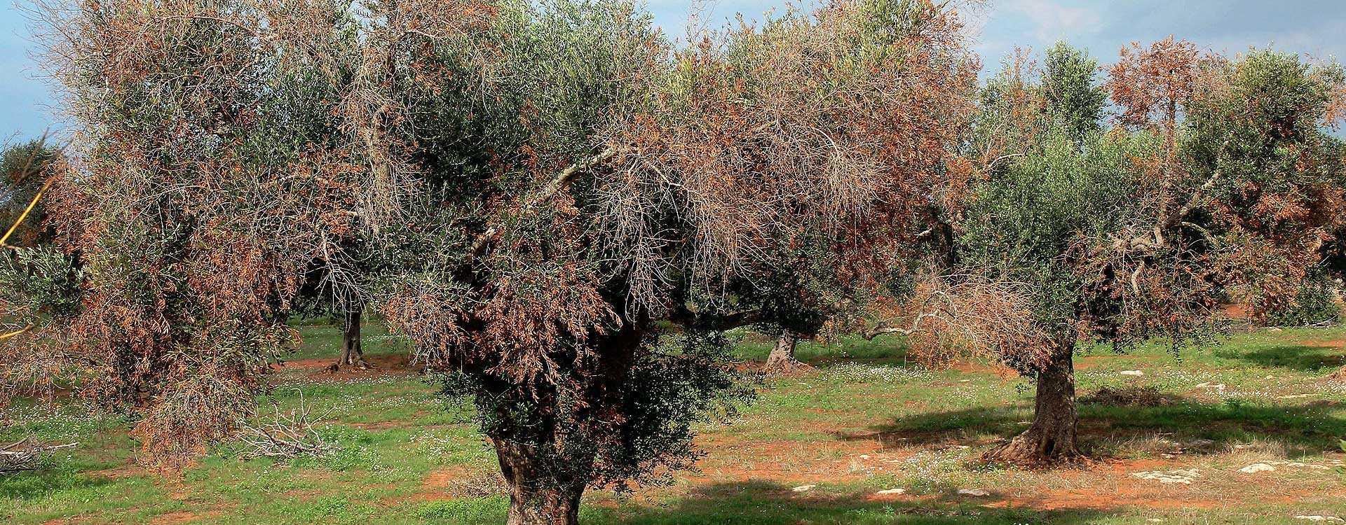 Texte adoptate - Epidemia de Xylella fastidiosa care afectează măslinii - Miercuri, 20 mai