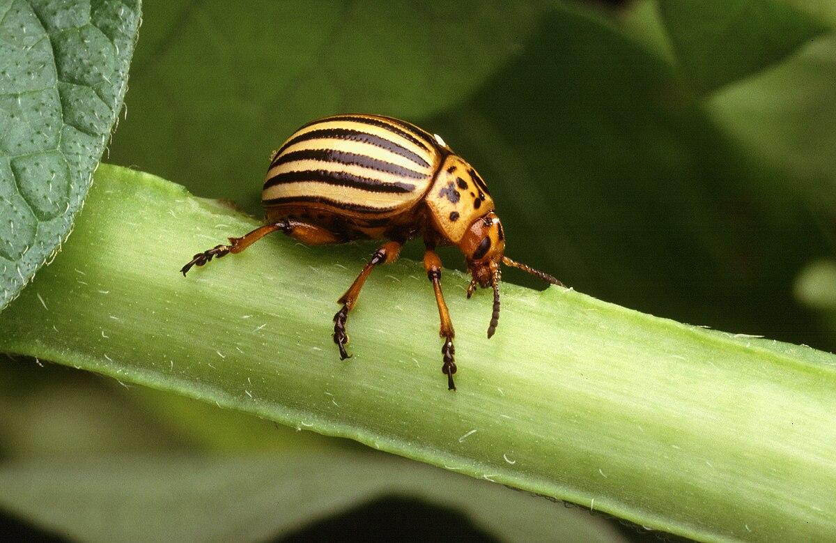 gândacul de vierme