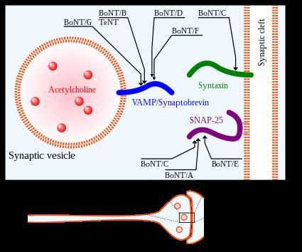 Botuline toxine of botox, - Botuline toxine of botox