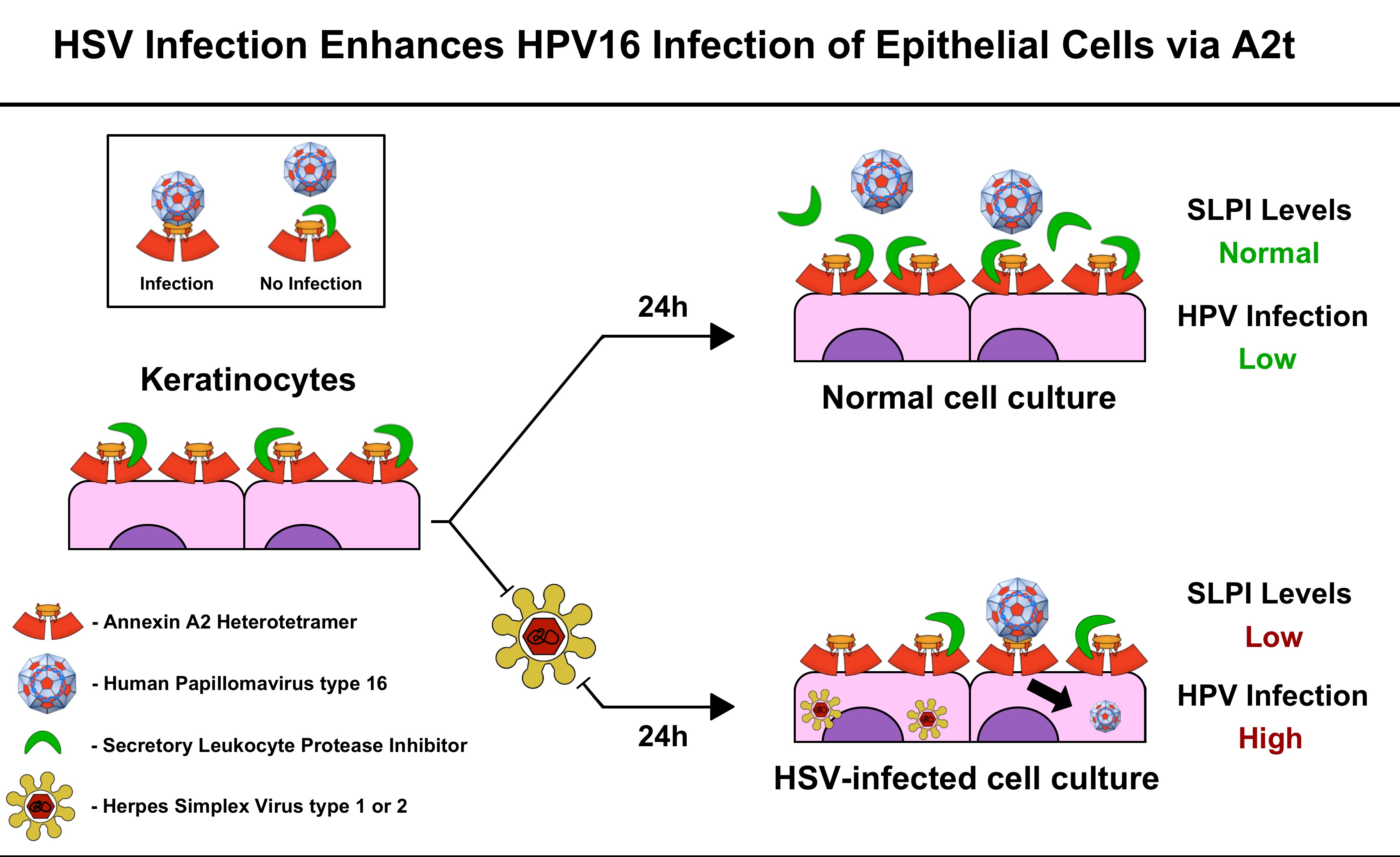 Hpv warts vs herpes Hpv warts and herpes