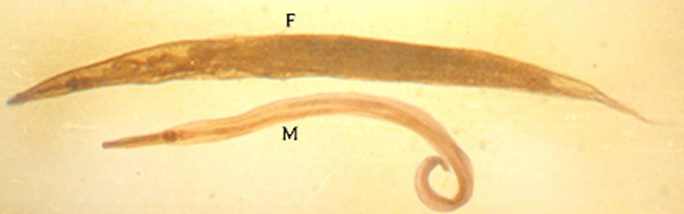 enterobius vermicularis adults