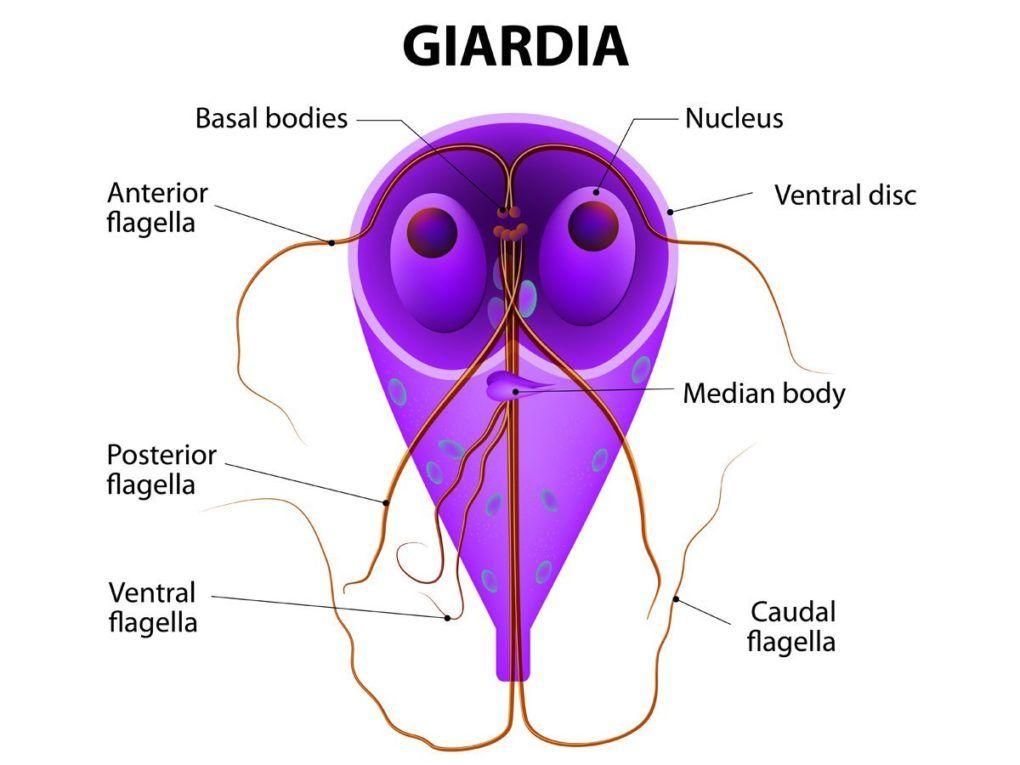 medicina funcțională giardia