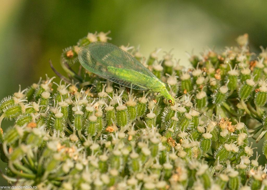 paraziți de insecte benefice)
