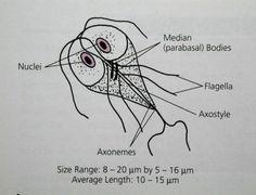 Anticorpi către Giardia lamblia, IgA/M/G - Invitro Diagnostics