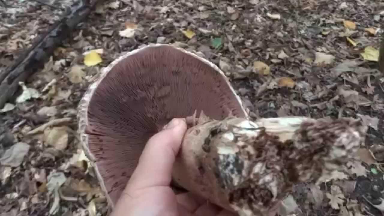 ciuperci bune)