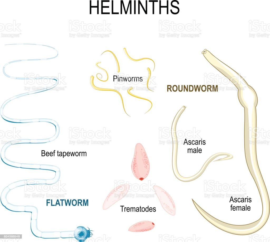 helminth worms in humans
