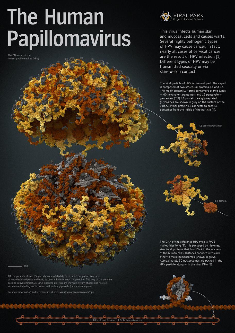 human papillomavirus notes)