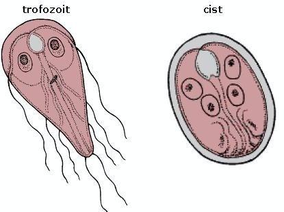tratament de protozoare pentru giardia