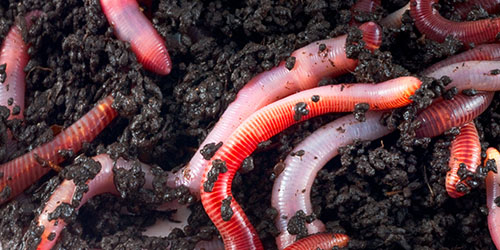 Ce tratează viermii și viermii Viermi și medicamente anti vierme