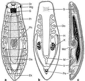 hautmuskelschlauch plathelminthes