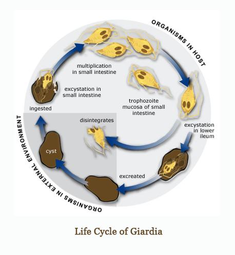 Giardia cane uomo PCR Giardiaza ,antibiotice parazite intestinale