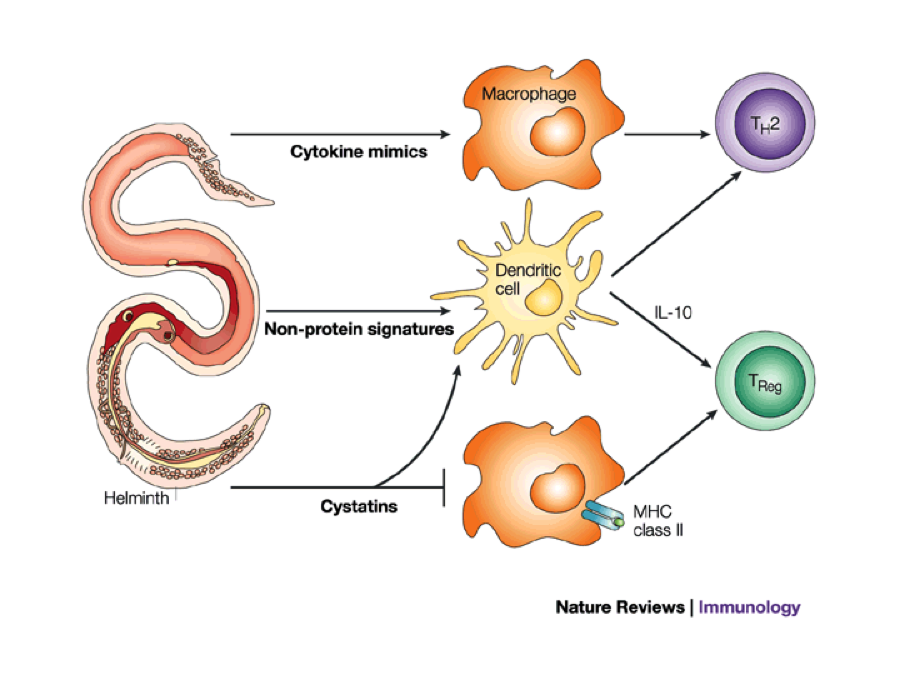 helminth and immune system