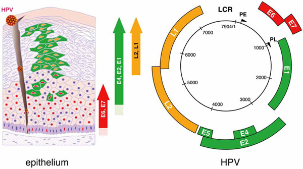 hpv viral genome)