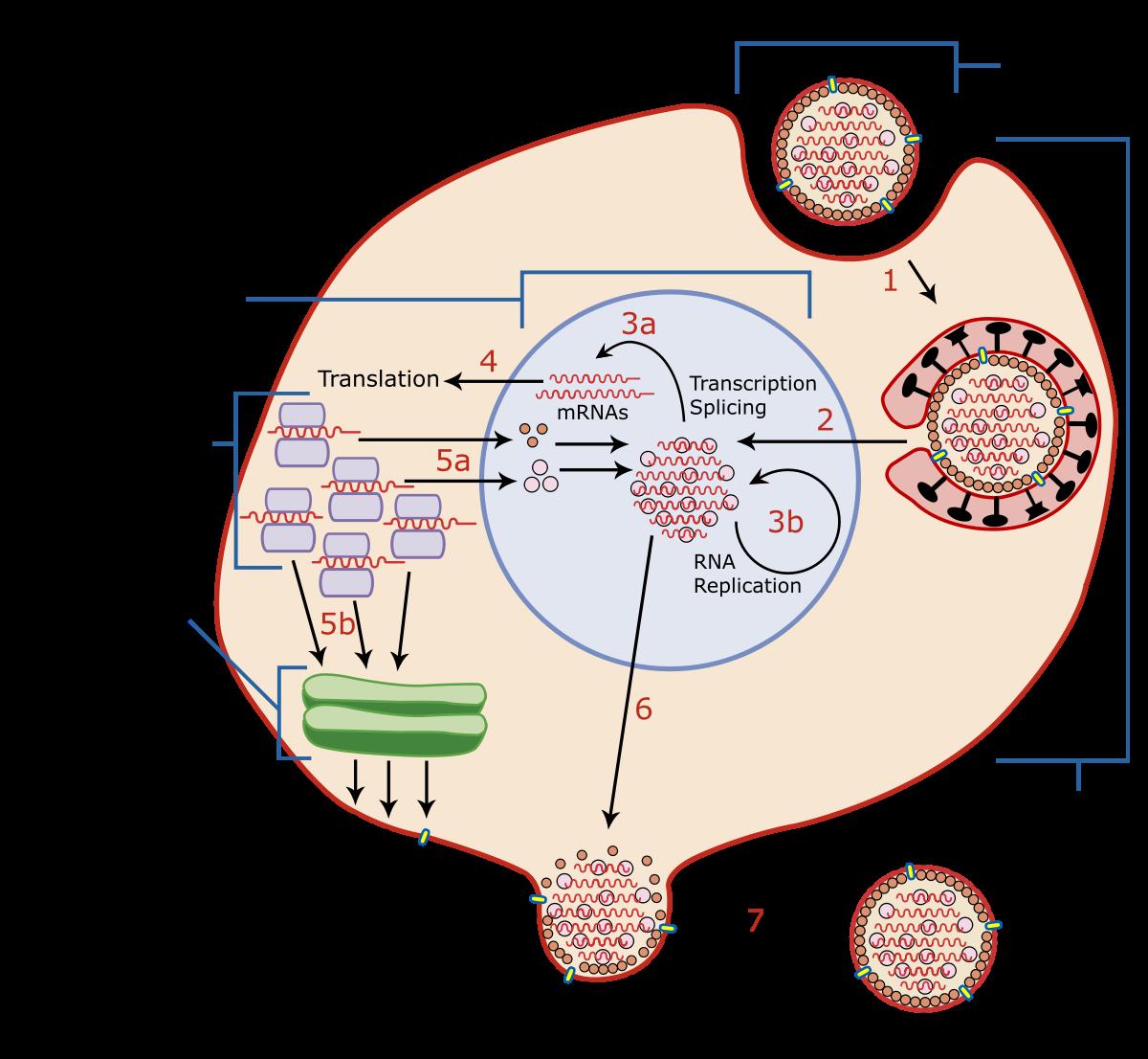 Vaccinare HPV sau NU ? - Hpv virus dormant