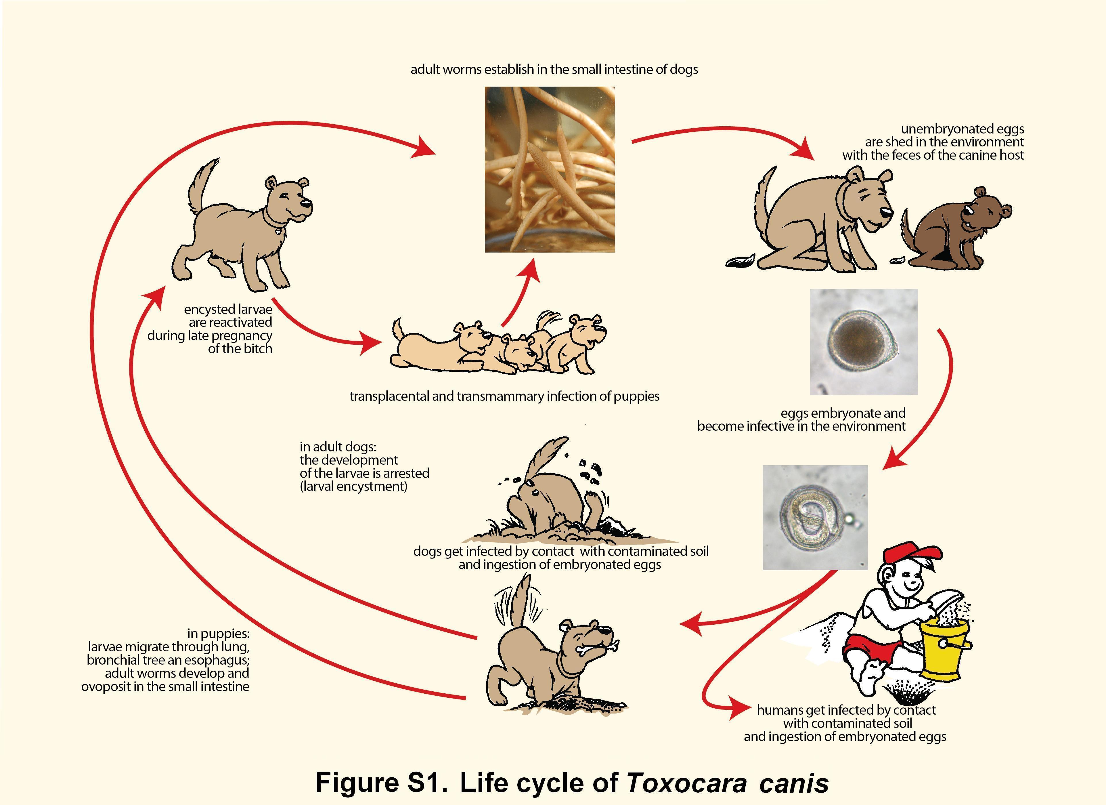 Infecții cu helminth transmis prin sol Parazitozele intestinale la copii | info-tecuci.ro