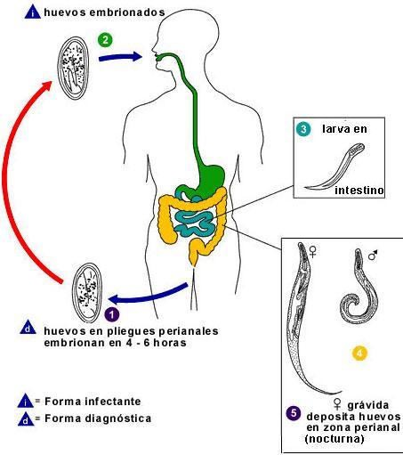 oxiuros of enterobius vermicularis)