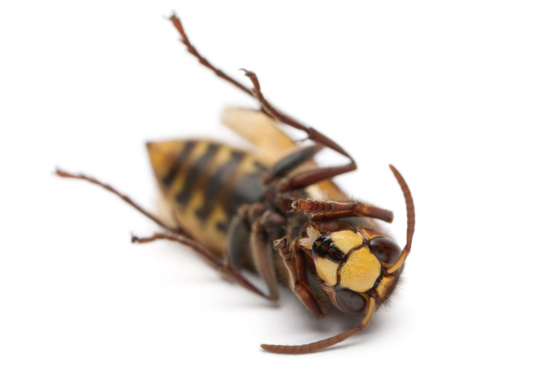 paraziți găsiți în insecte)
