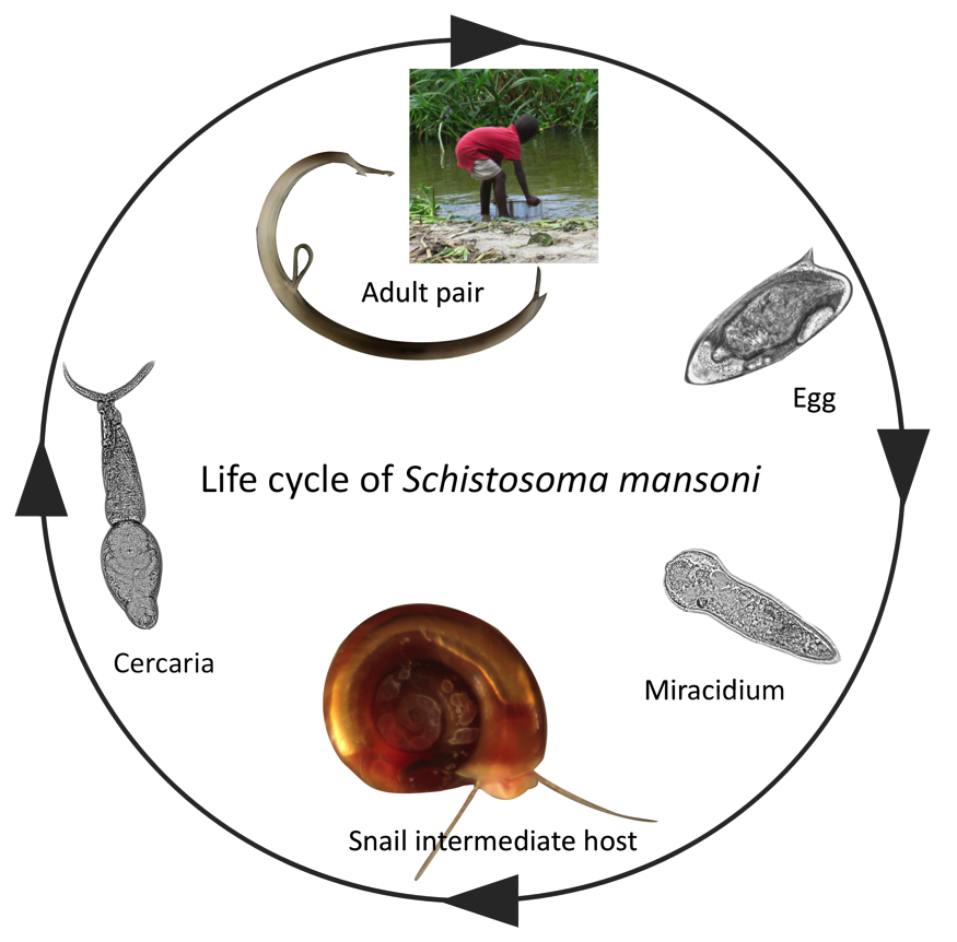 schistosomiasis freshwater snails)
