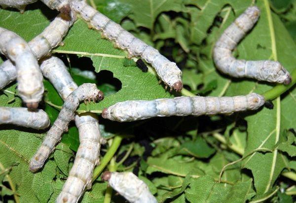 viermi de pin în rect