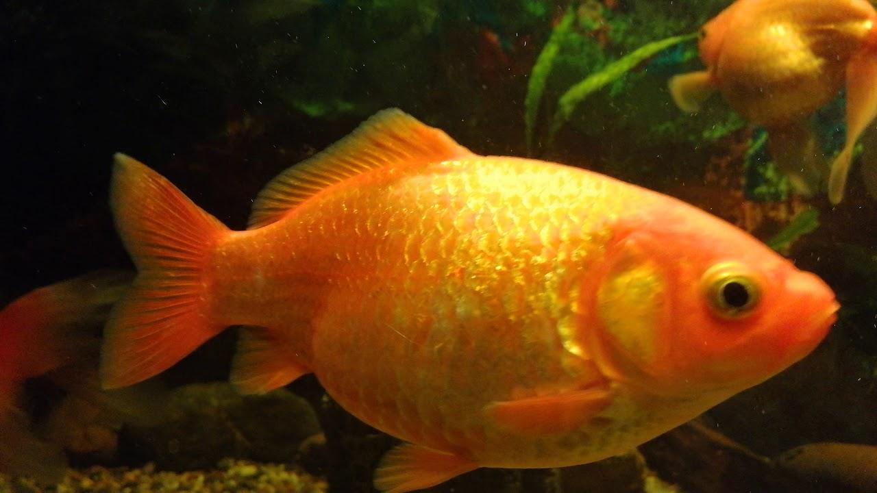 paraziti pri ribah