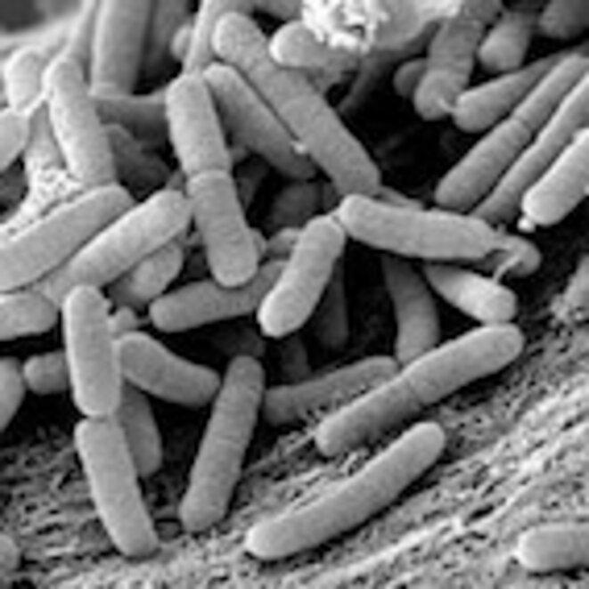 bacterie xylella fastidiosa)