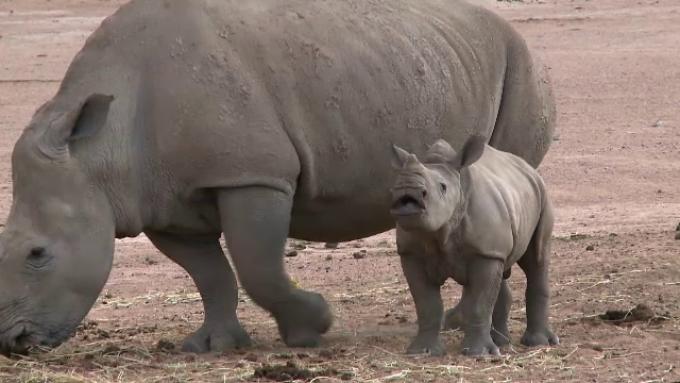 Rinoceri - Traducere în engleză - exemple în română | Reverso Context