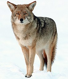 Hpv virus hos man - Papillomatosis in wolves