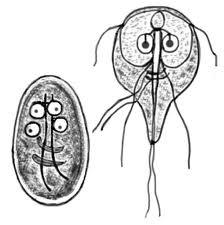 Giardia tratament caini giardioza hofitolului