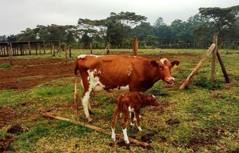 tânăra de vite în corpul uman
