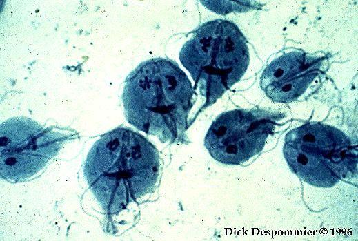 paraziti lamblia)