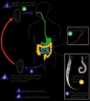verme do oxiuros stadiul de papilom