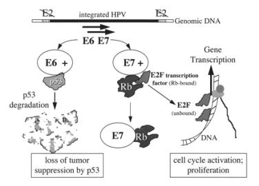 human papillomavirus e6)