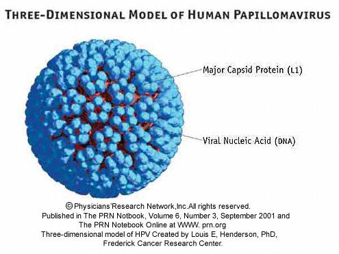 papillomavirus virus prevention)