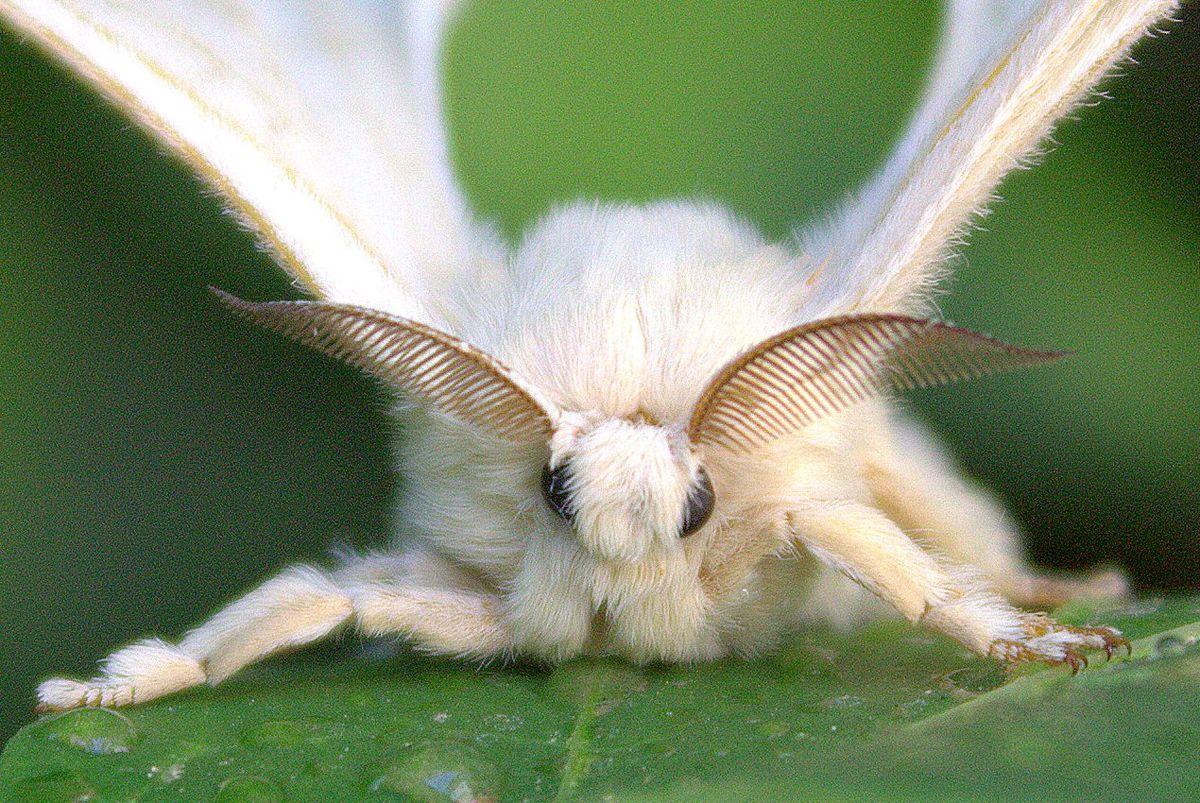 Viermele alb este strâns